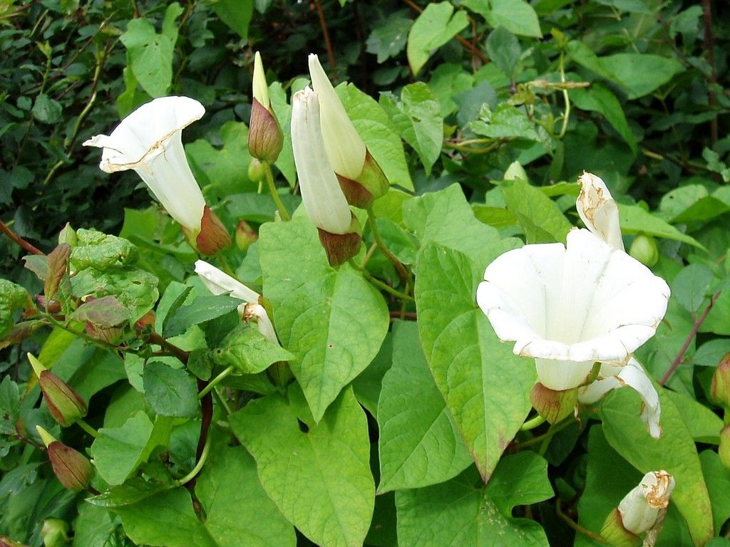 Weeds in flower beds identify - Any Gardener That Has Had The Displeasure Of Having Bindweed In Their Garden Knows How