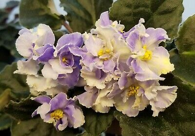 African Violet Starter Plant - HARMONY'S COTTON CA