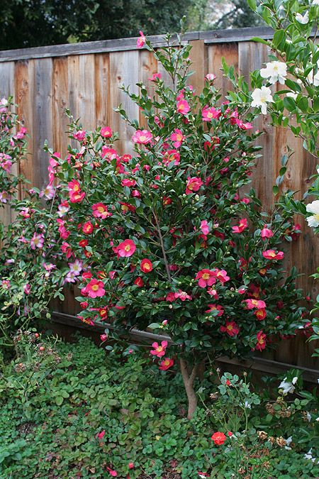 Yuletide Camellia Reaches 8 To 10 Tall And Wide Https Www Monrovia Com Plant Catalog Plants 672 Yule Yuletide Camellia Planting Flowers Southern Landscaping