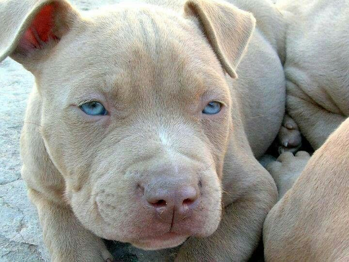 Beautiful Blue Eyed Red Nose Puppy Pitbull Terrier Puppies