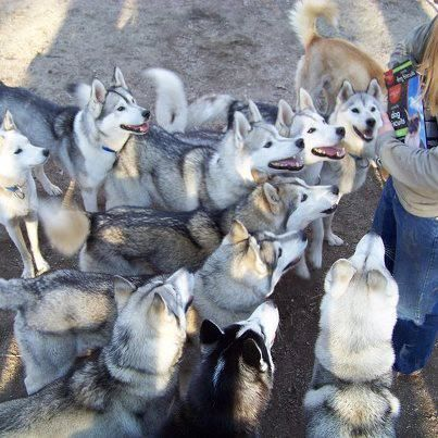 Huskies In New Hampshire Courtesy Valley Snow Dogs Llc Cute