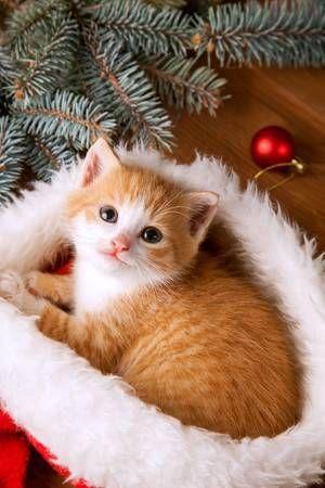 ginger kitten in santa hat against the background of a Christmas tree #gingerkitten ginger kitten in santa hat against the background of a Christmas tree #gingerkitten
