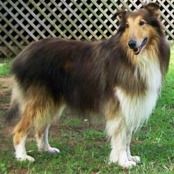 Gorgeous Colin Is An Adoptable Collie Dog In Winston Salem Nc