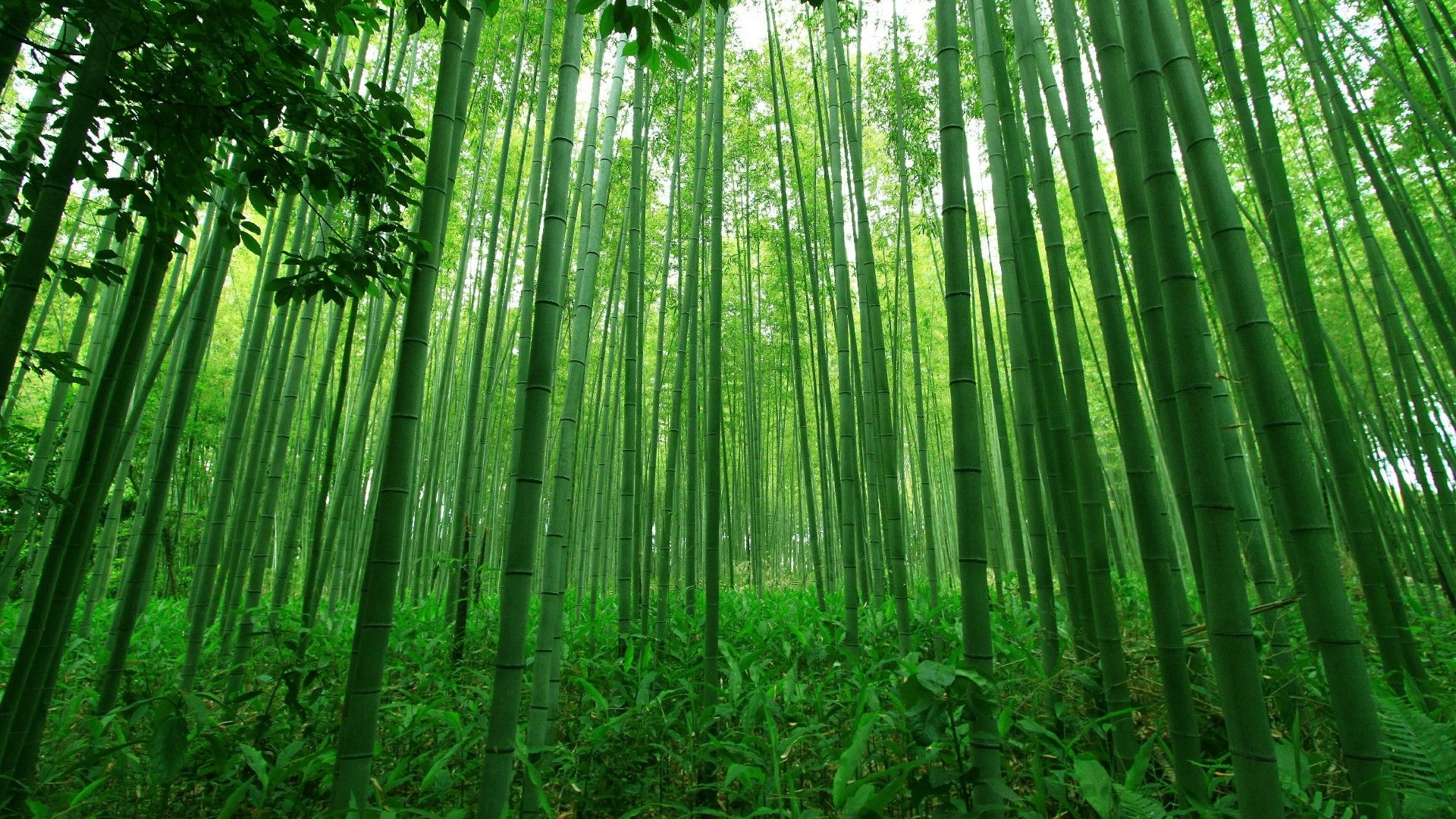 Bamboo Forest 的圖片搜尋結果 Forest Wall Mural Bamboo Forest