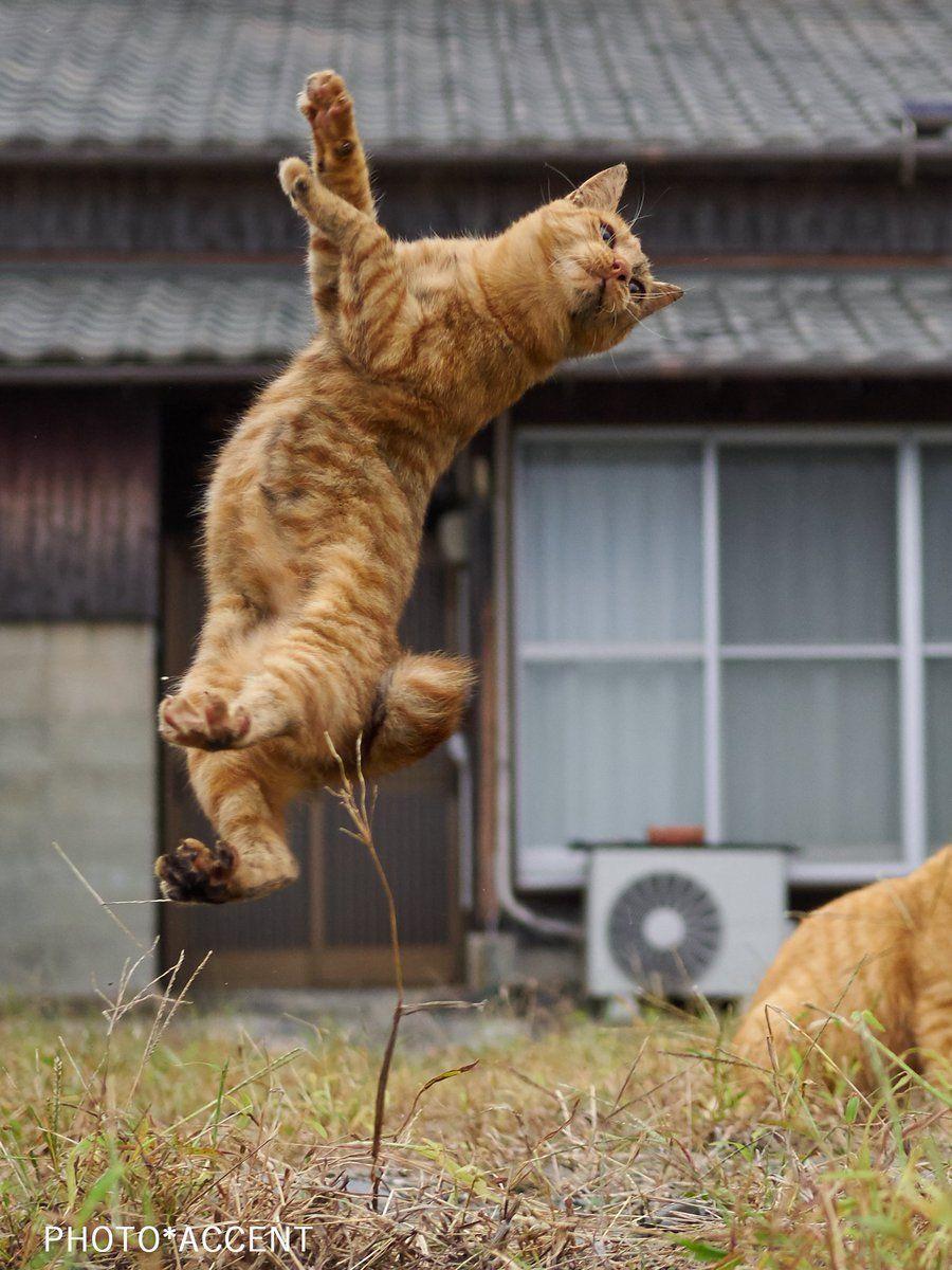 アクセント 「のら猫拳」発売開始!(sakata_77)さん Twitter Jumping cat
