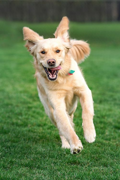 Tailwagger Dog Photography Boo Our Golden Retriever Running And