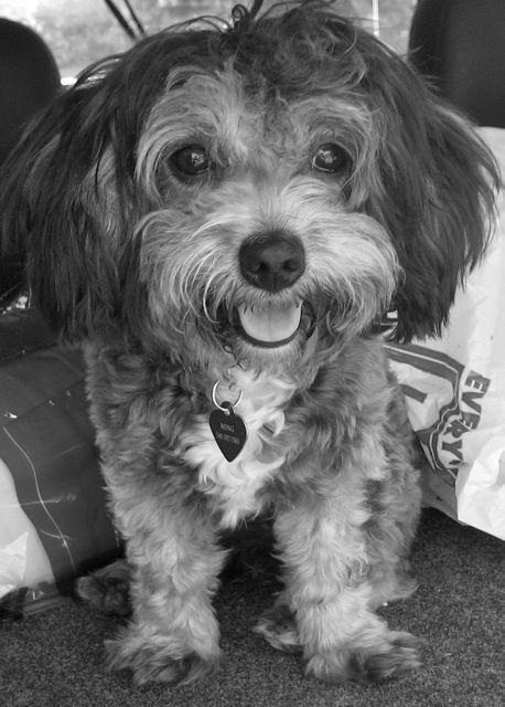 Maltipoo Crazy Dog Lady Maltese Poodle Mix Maltipoo