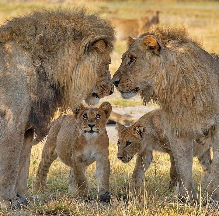 Красивые картинки семьи львов