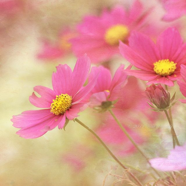 Color My World Birthday Flowers Flower Meanings Cosmos Flowers