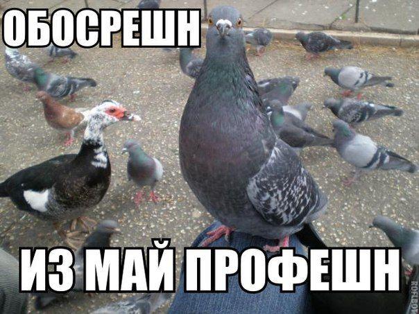 Мая, картинки прикольные про голубей с надписью