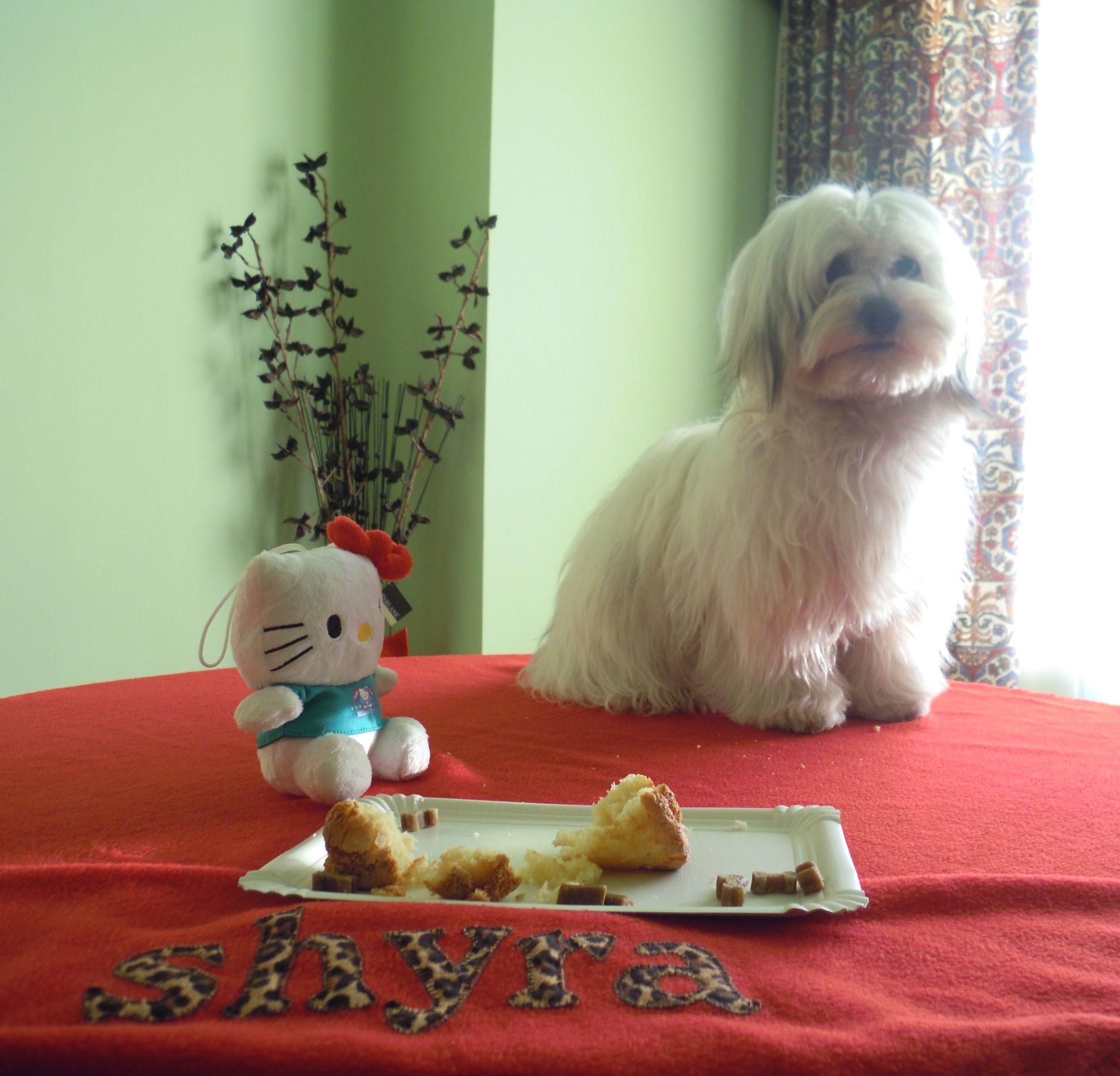 Cumpleaños Shyra Havanese dogs, Havanese, Dogs
