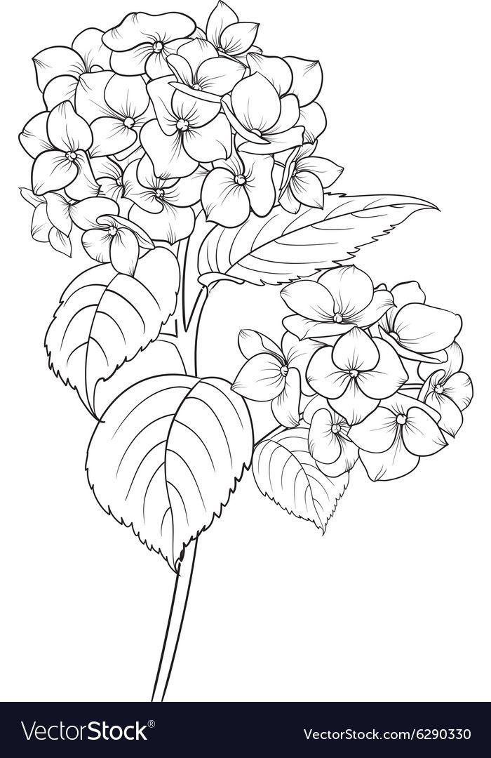 Blooming Flower Hydrangea Vector Image On Vectorstock Flower Line Drawings Flower Sketches Flower Drawing