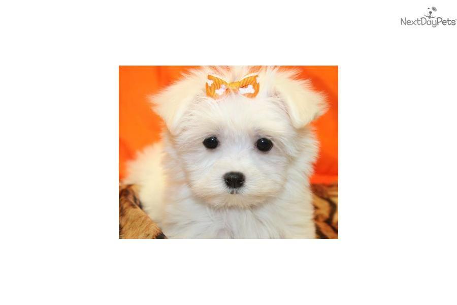 Maltese Puppy   White Female Maltese