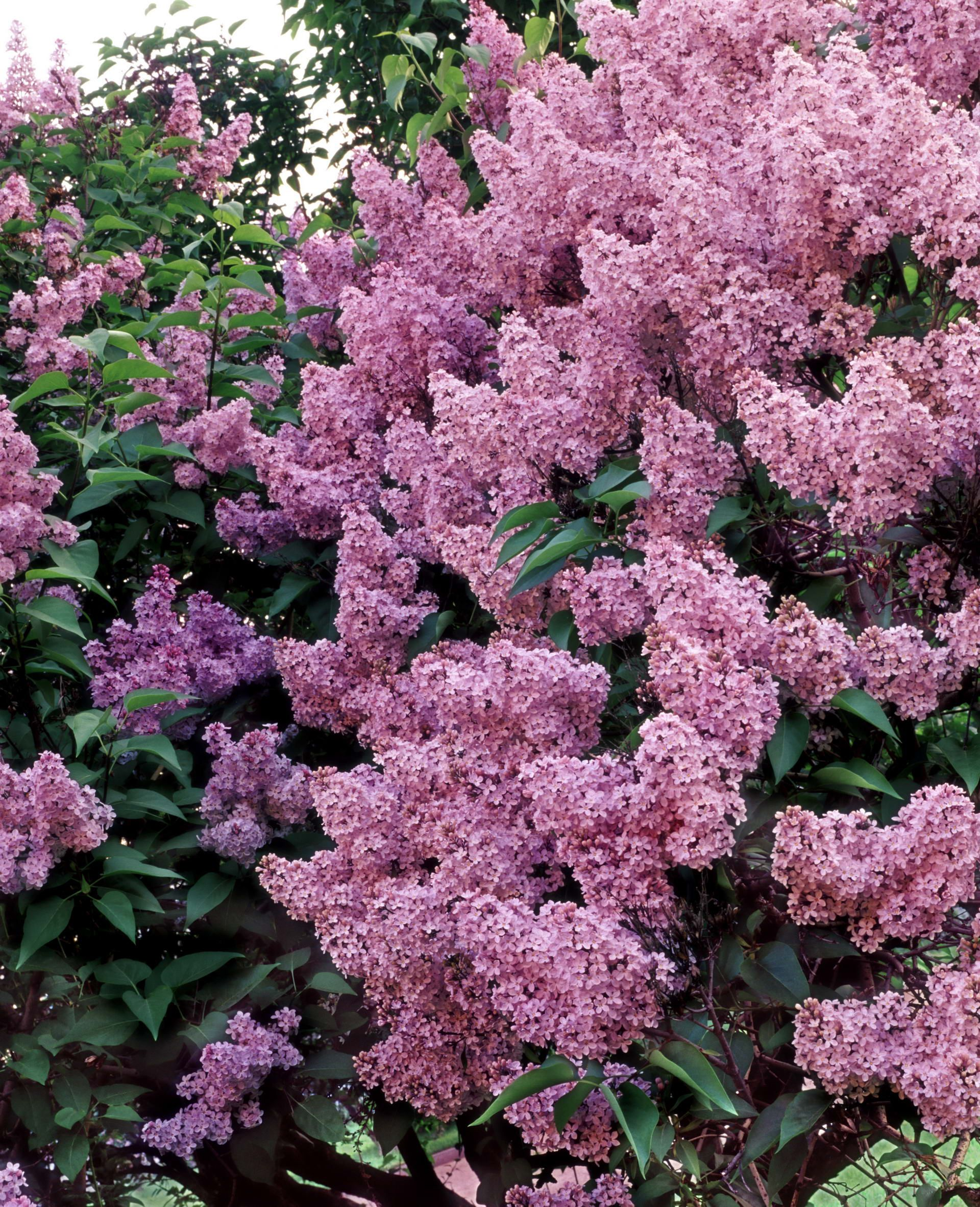 Miss Canada Lilac Has Large Clusters Of Tubular Deep Pink Flowers In Early Spring Description From Pinterest Com Lilac Tree Beautiful Flowers Lilac Flowers