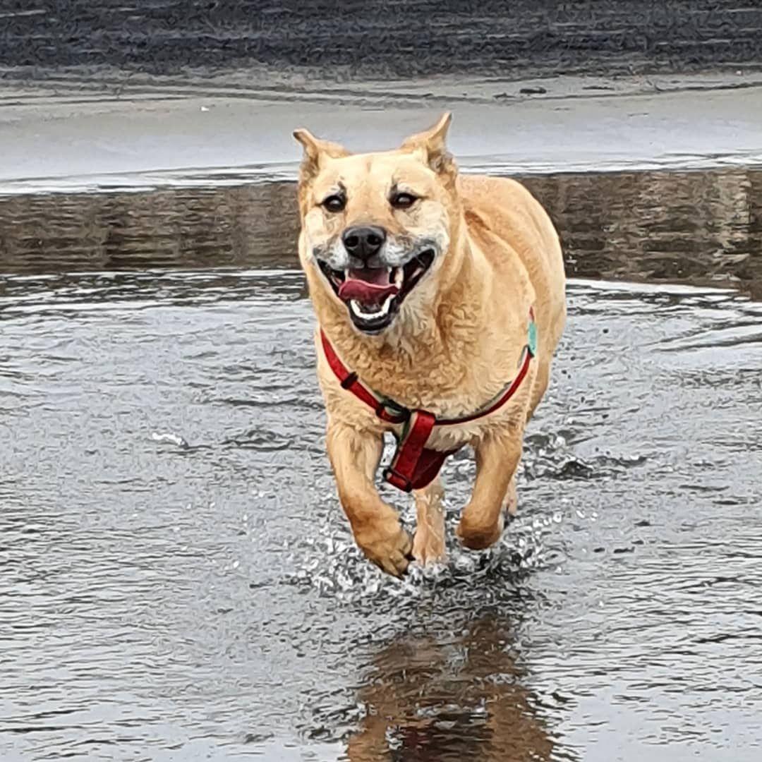 Beach Zoomies Today Cleo Storgi Dog Dogsofnz Dogsofauckland Dogsofnewzealand Kiwidog Rescuedog Staffy Corgi Best Dogs Dogs Cute Animals