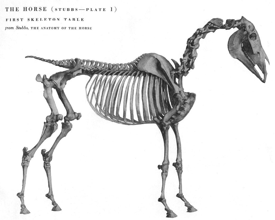 Horse anatomy | Anatomy | Pinterest | Horse anatomy, Anatomy and Horse