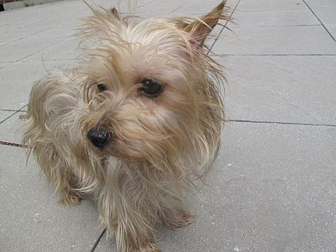 NEW YORK, NY PENELOPE is a Yorkie, Yorkshire Terrier for