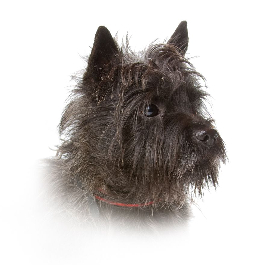 Cairn Dog Black Looks Just Like My Boyd Cairn Terrier
