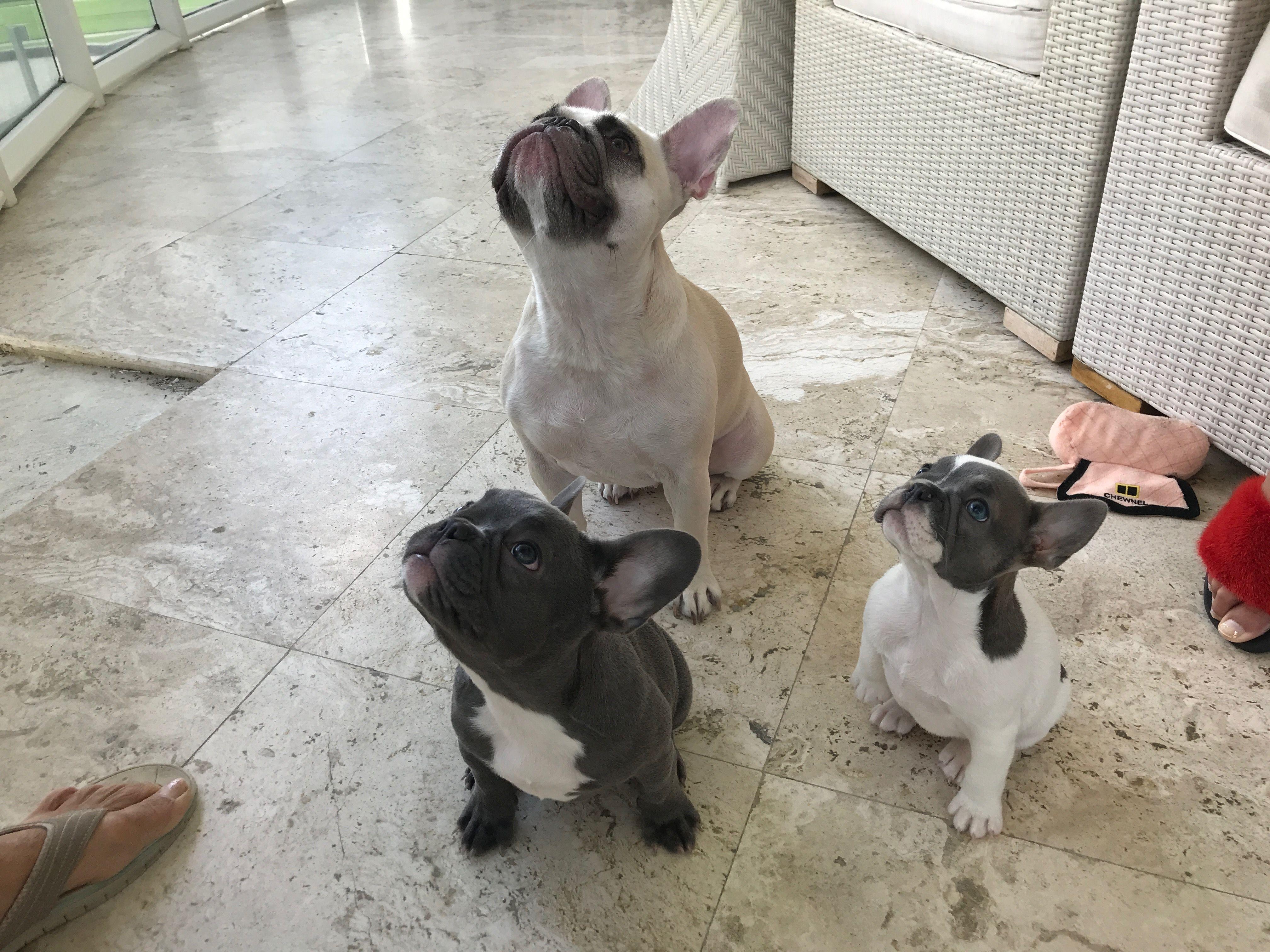Cleo Lulu And Gigi Pet Au Pair French Bulldog Dogs Pets
