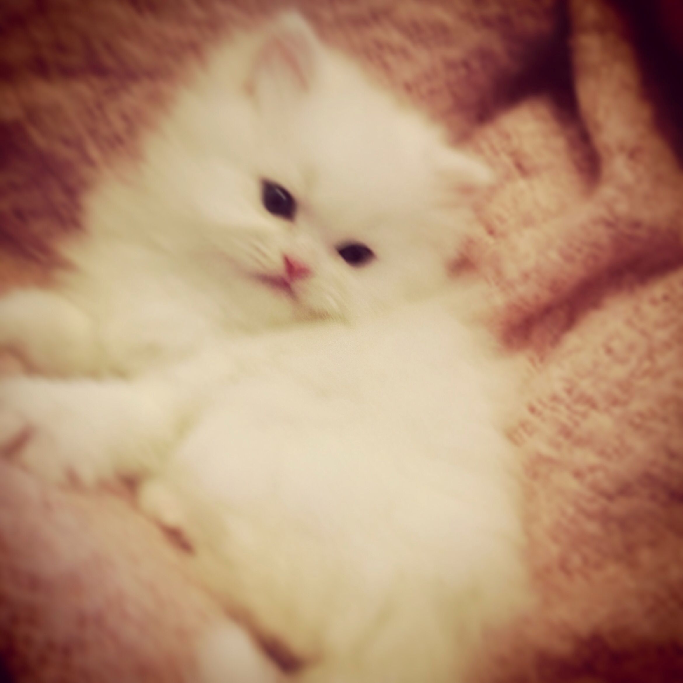 Pin By Kismet Kittens On Teacup Persian Kittens For Sale Persian Kittens Fluffy Kittens Persian Cats For Sale