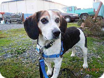 Washington Meet Buster An Adoptable Beagle In Seattle Tacoma