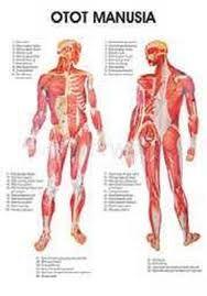 Otot pada Manusia, Terdiri dari Apa Saja? - Kelas Pintar