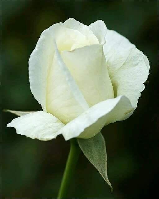 صباح الورد الابيض ดอกไม ดอกก หลาบ ก หลาบ