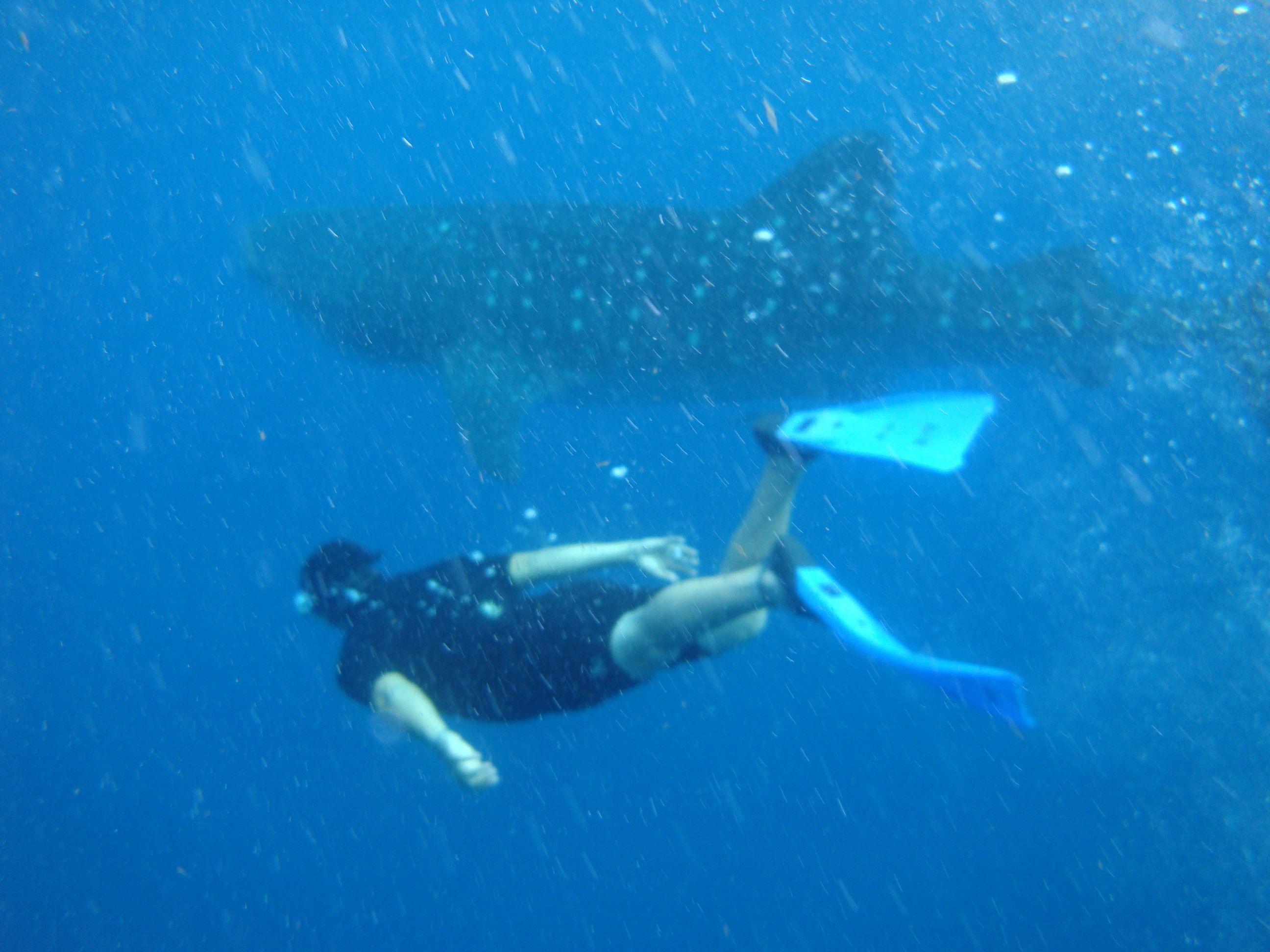 tiburón ballena, caribe mexicano