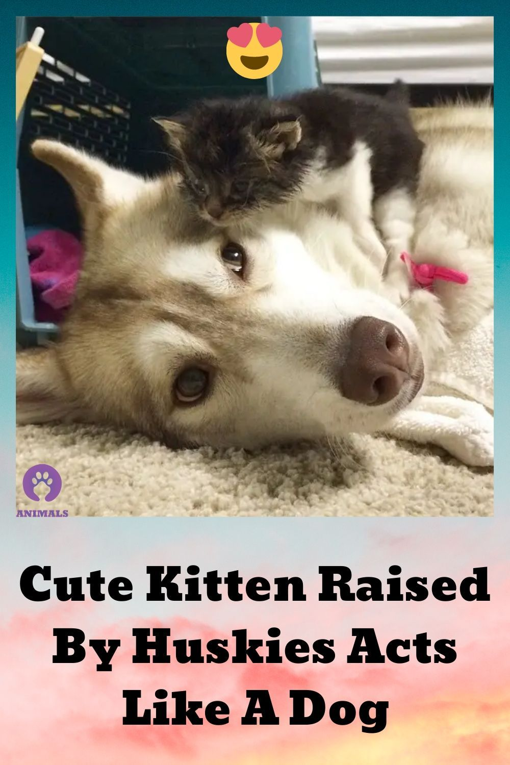 Cute Kitten Raised By Huskies Acts Like A Dog In 2020 Animals Funny Animals Dogs