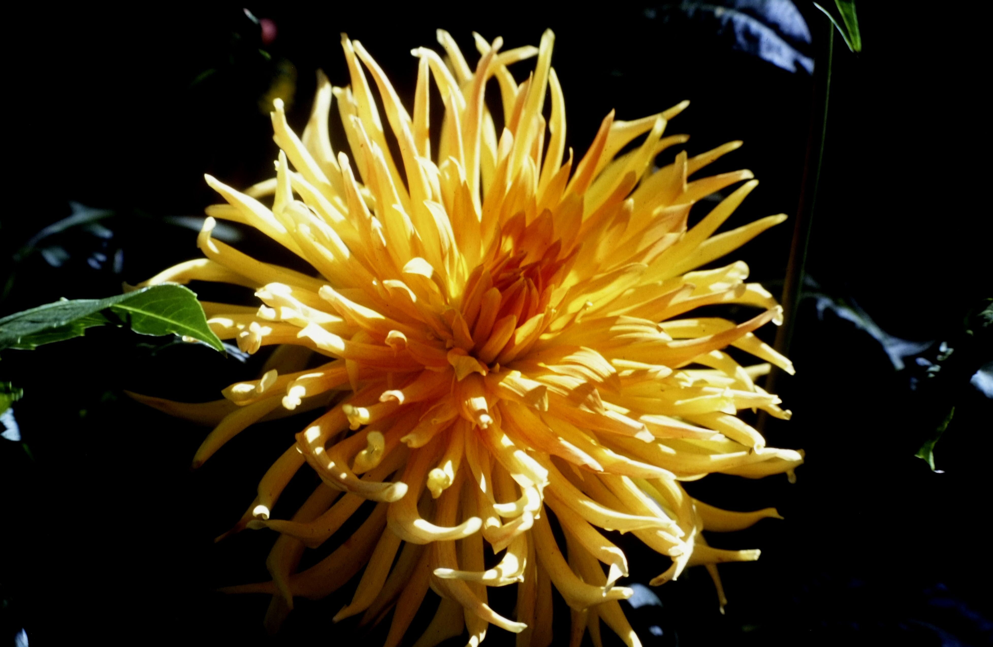 Dahlias Started Out As Wildflowers In Parts Of Mexico And Guatemala