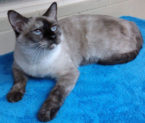 Momma Kitty Siamese Cat Vernon Tx Pets Siamese Cats Siamese