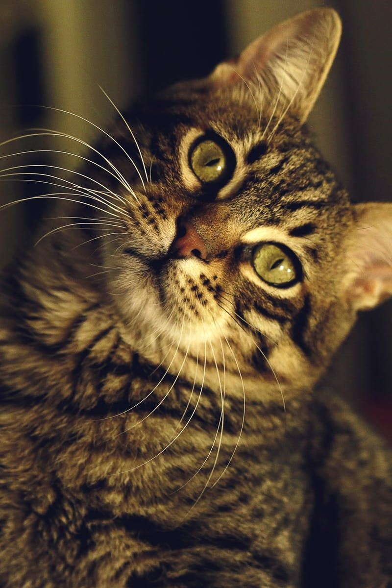 Closeup of Cat TabbyCat Cat care, Tabby cat, Cats and