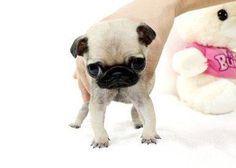 Sally Teacup Pugs - Pugs for sale   adopt a pug   Teacup pug