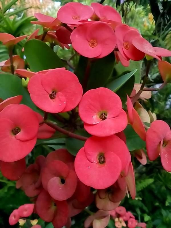 Pin On Euphorbia