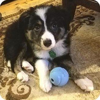 Allen Tx Border Collie Mix Meet Stella A Puppy For Adoption