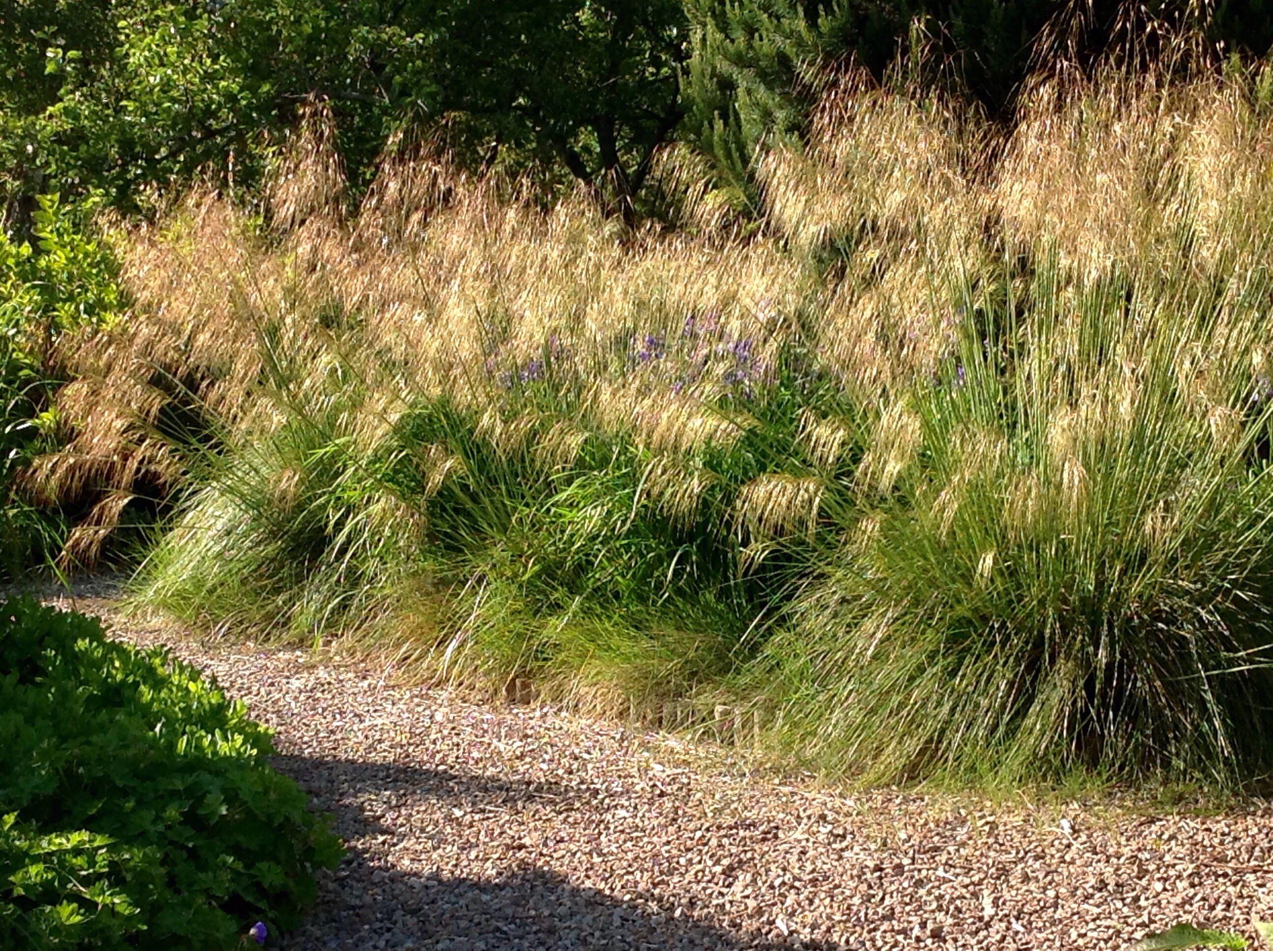 Stipa Gigantea High Country Gardens Ornamental Grasses Plants Uk