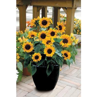 Johnsons Seeds Sunflower Babyface F1 J612 Home Depot