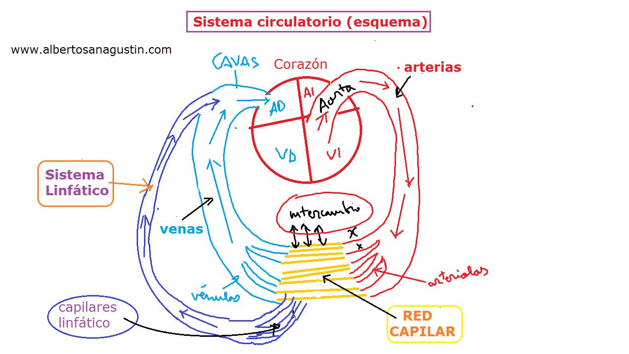 Snap Magnífico Diagrama De Sistema Cardiovascular Motivo ... photos ...