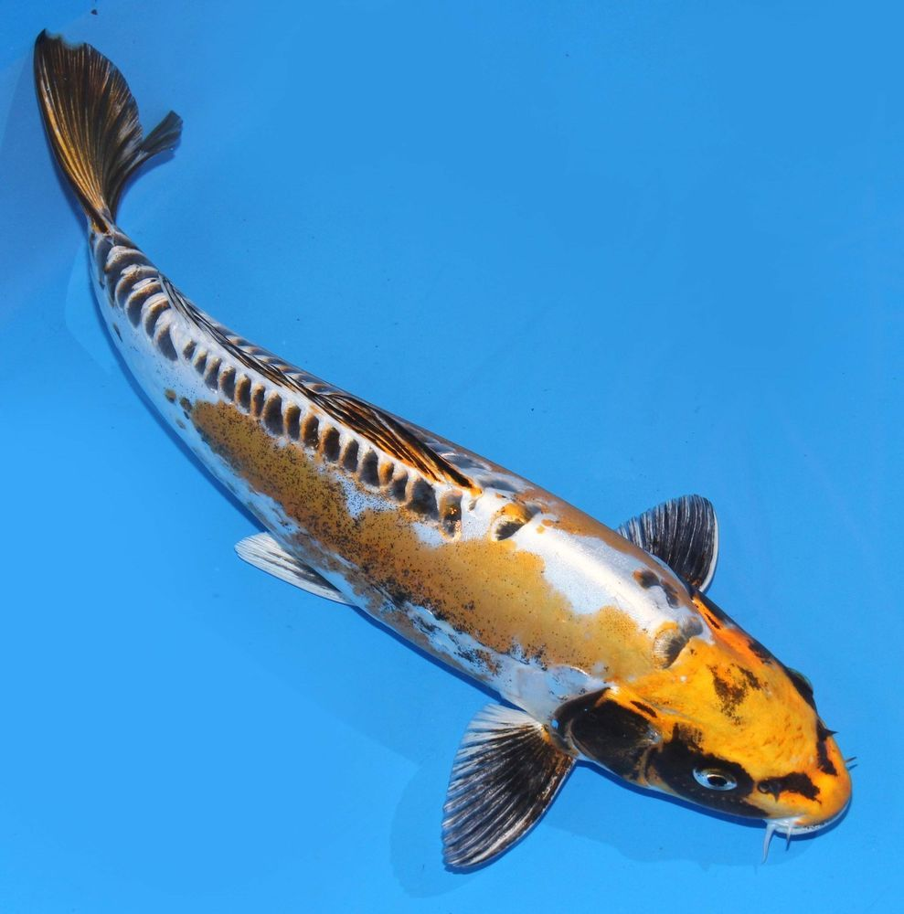 Live koi fish 12 13 kin kikokuryu ghost koibay koi for Koi fish aquarium
