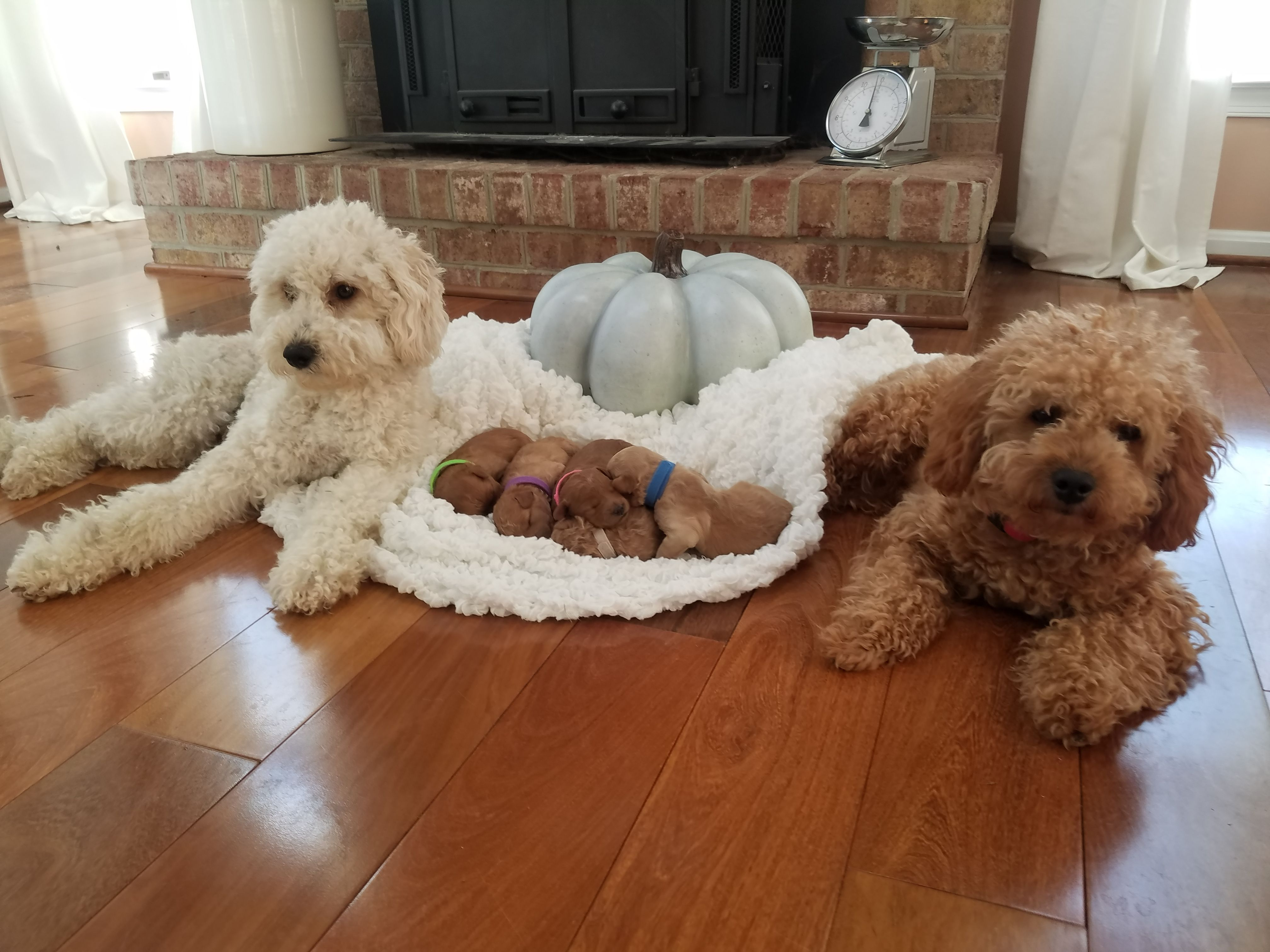 apricot mini goldendoodle (With images) Goldendoodle