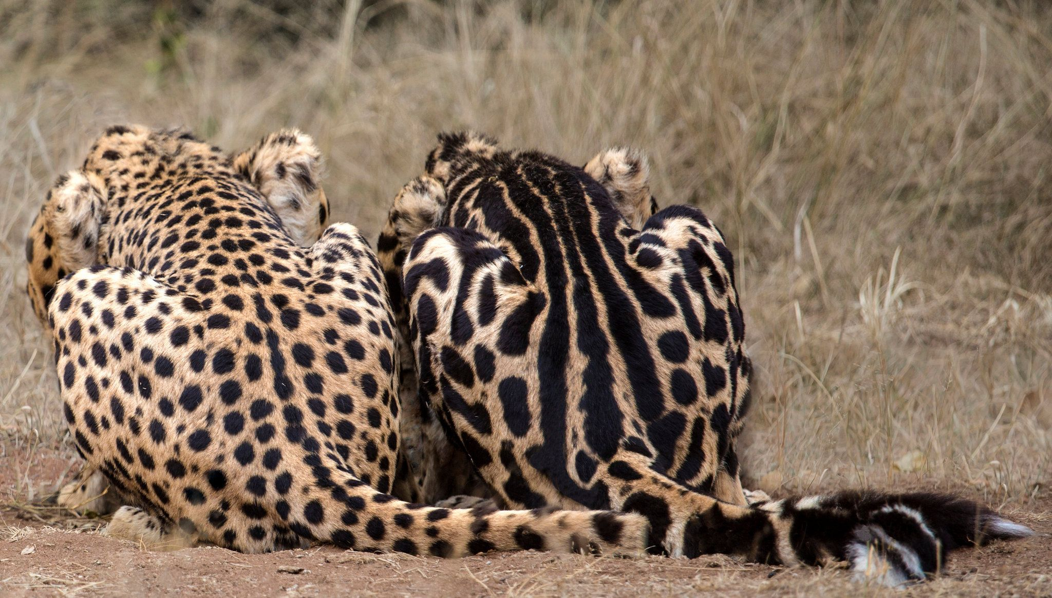 Cats' Stripes and Spots Are Tracked to a Gene (With images