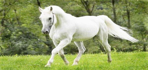 تفسير رؤية الحصان الأبيض في المنام معلومة ثقافية Horse Pictures Horses White Horse
