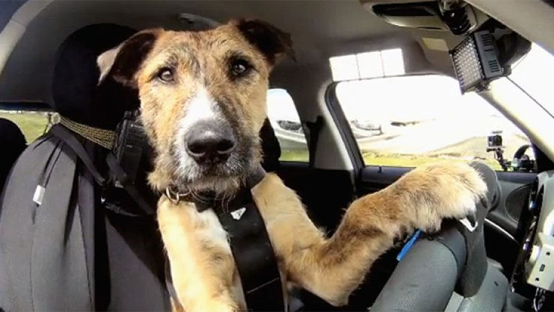 New Zealand Spca Teaches Rescue Dogs How To Drive A Mini Dogs I Love Dogs Animals