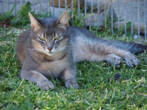 Lost Grey Cat Mt Pleasant Perth Wa 6153 Kitty Pics Cats Fish Chip Shop Lost