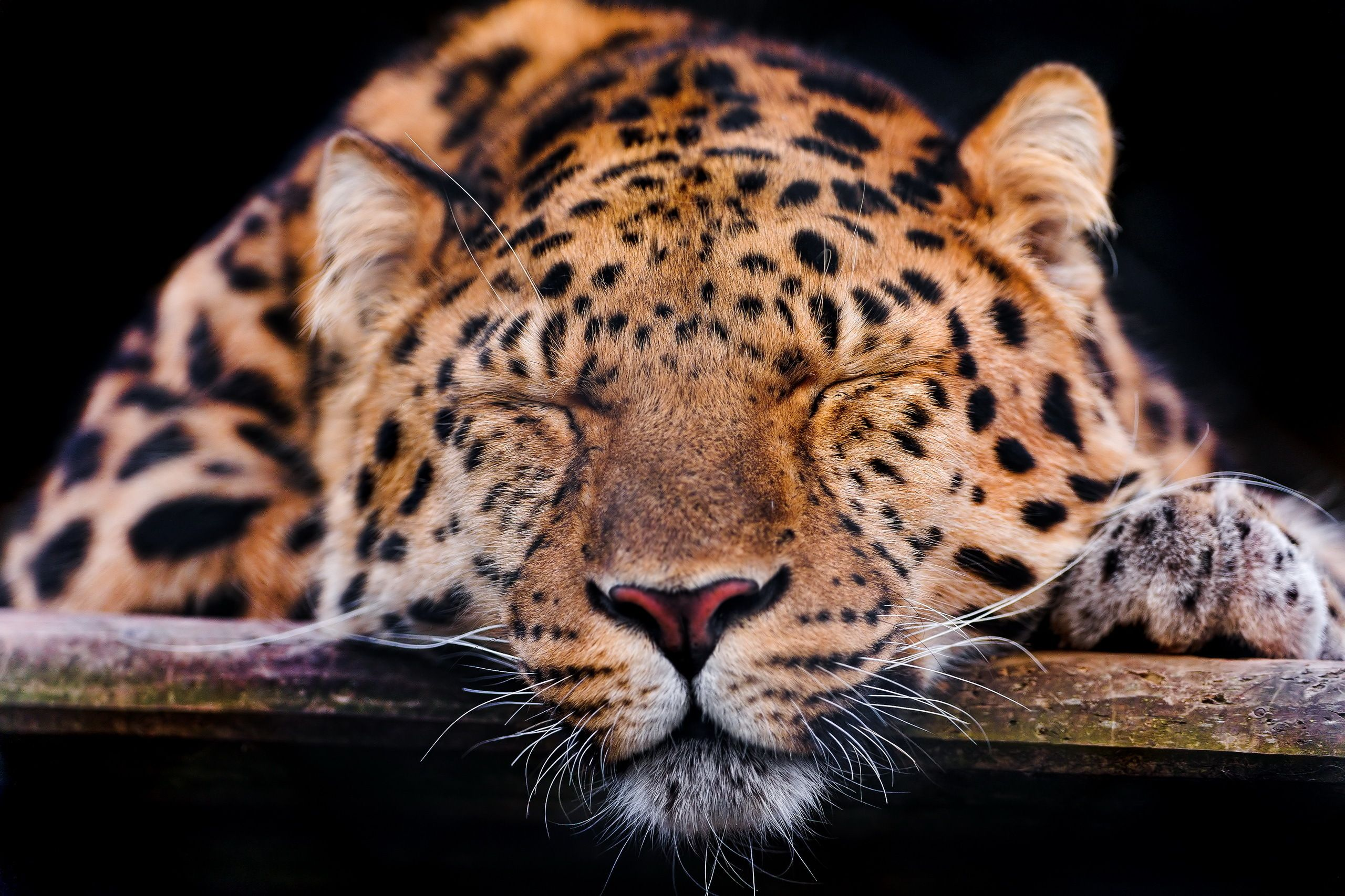 Leopardo D Concussions Recovery Animals Post Concussion Syndrome