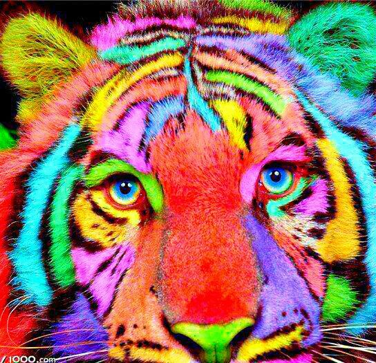 Colorful Tiger Pet tiger, Fierce animals, White tiger