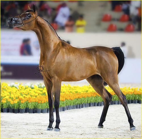بطوله جمال الخيل العربي الاولي بالكويت بيت العرب Horses Animals Arabian Horse