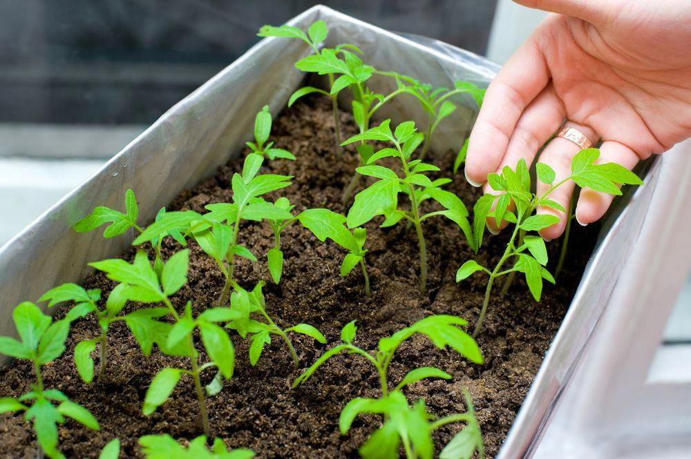 Growing tomatoes from seed how to start a vegetable garden