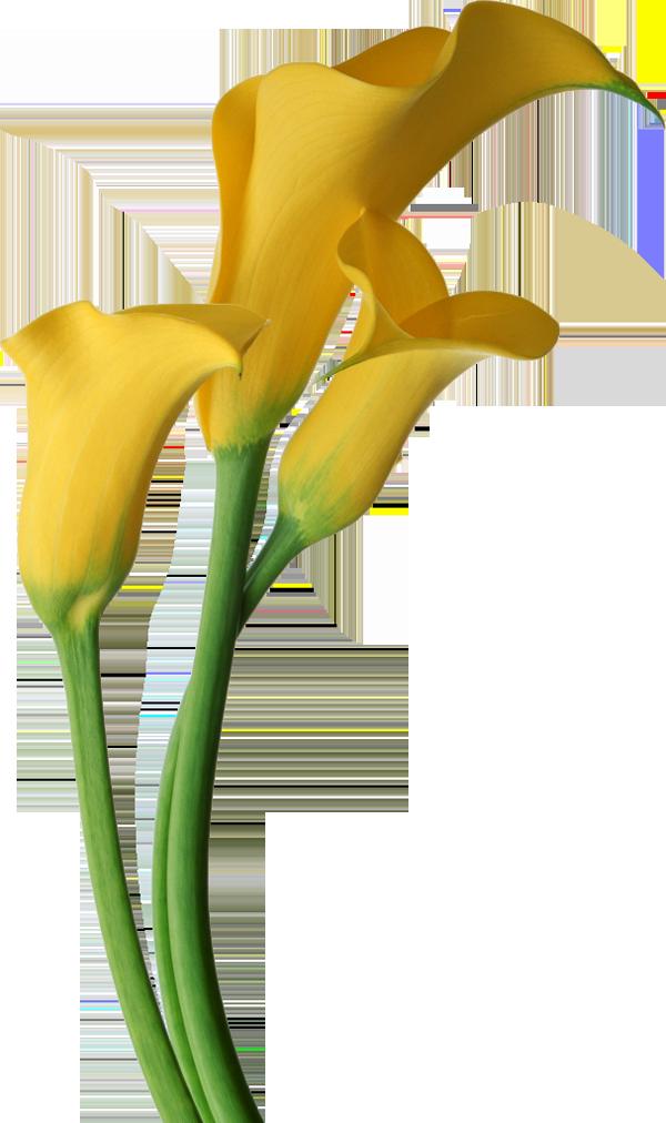 Yellow Transparent Calla Lilies Flowers Clipart Quadros Preto E Branco Pintura Para Cozinha Desenhos De Flores