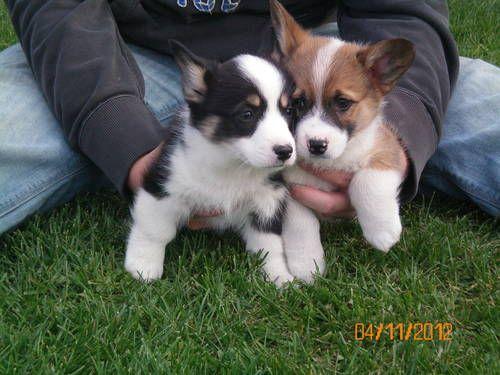 Pembrook Welsh Corgi Puppies So Cute Cuddly Corgi Welsh Corgi Puppies Puppies